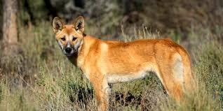 historia del perro-dingo-ccam99