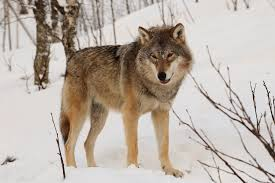 historia-del-perro-lobo-ccam99.jpeg