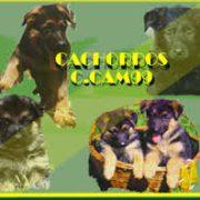 cachorros-pastor-aleman-ccam99