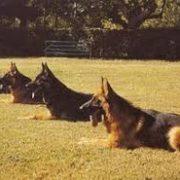 campo-entrenamiento-canino-ccam99-pastores-alemanes
