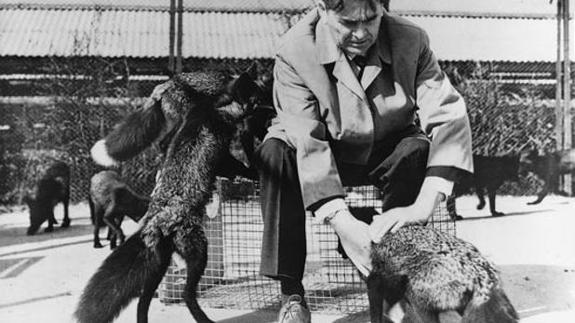 Los zorros domesticados de Belyaev
