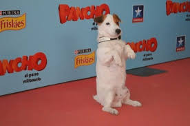 Jack Russell Pancho